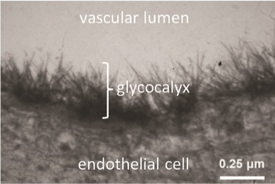 Wiesinger A, Peters W, Chappell D, Kentrup D, Reuter S, Pavenstädt H, et al. (2013) Nanomechanics of the Endothelial Glycocalyx in Experimental Sepsis. PLoS ONE 8(11): e80905